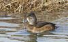 Ring-necked Duck (Aythya collaris) f. by Carolina Kid (misplaced)