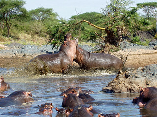 Hippo War in the Serengeti