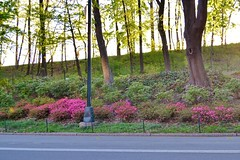 Central Park-Rhododendron Mile, 05.06.14