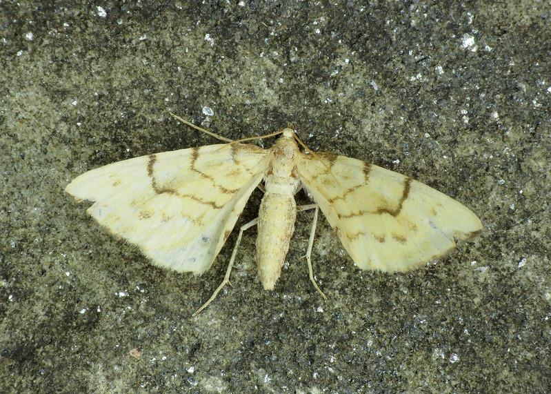 1758 Barred Straw - Eulithis pyraliata