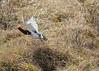 Willow Ptarmigan Flight by Rick Derevan