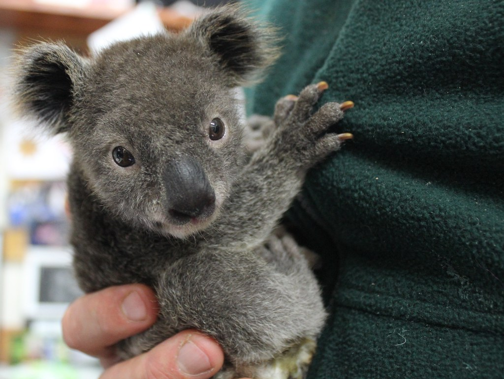 Archer the baby Koala being hand-raised by keepers at Featherdale Wildlife Park, Sydney.