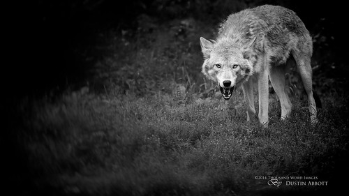 coyote summer bw canada monochrome animal fur eyes woods eyecontact quebec handheld fullframe snarl parcomega papineauville canoneos6d canonef70300mmf456lis thousandwordimages dustinabbott dustinabbottnet adobelightroom5 adobephotoshopcc alienskinexposure6