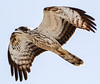 Honey Buzzard by Cyprus Bird Watching Tours - BIRD is the WORD