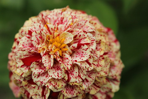 Candy Cane Zinnia   by mabilletdoux