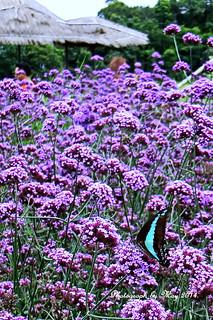 Purple Fields. | by ol'pete