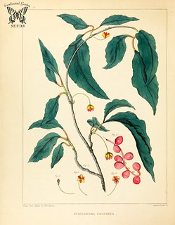 Bay star-vine. Schisandra glabra (as Schizandra coccinea)  Pink or red flowers followed by red berries. Can climb to 65 feet tall or more. Native to the southern U.S. A flora of North America, Barton, W.P.C., vol. 1 (1821)