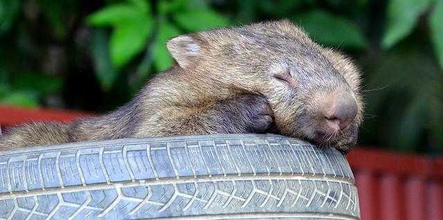 Tyred Wombat