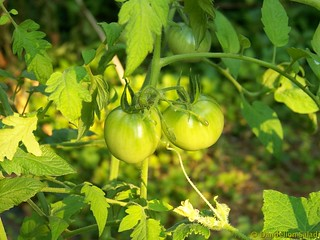 Green Tomatoes | by Dandelion Salad