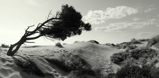 Le Gros du ROY la plage de l'Espiguette... le pin parasol