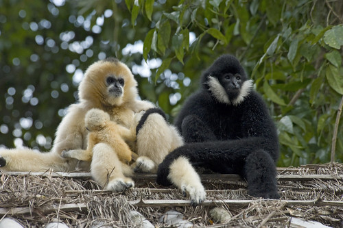 Male white cheeked gibbon clasps mate with young baby as it suck