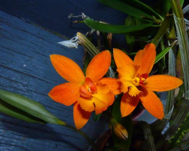 Epilaeliocattleya (Stanfieldara) Unknown [Freebie] (Epidendrum x Laelia x Sophronitis) hybrid orchid