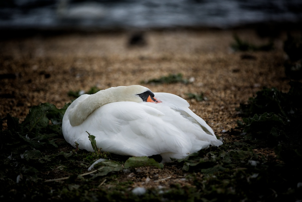 The Sleeping Swans >> Sleeping Swan John Tovey Flickr