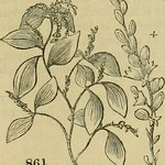 "Image from page 596 of ""Arboretum et fruticetum Britannicum; or, The trees and shrubs of Britain, native and foreign, hardy and half-hardy, pictorially and botanically delineated, and scientifically and popularly described; with their propagation, culture"