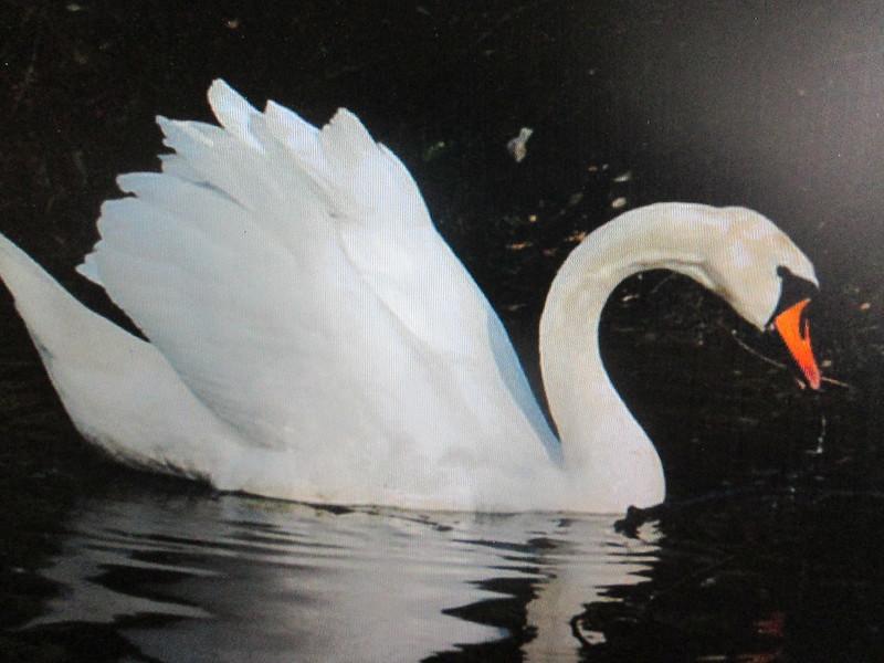 Bel oiseau nageant sur l'eau.