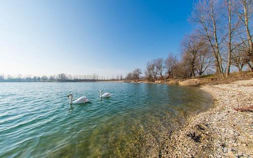 animals animalplanet birds swans lakes lakezajarki zajarki zaprešić hrvatska croatia autumn nikond600 sigma1528fisheye fisheye