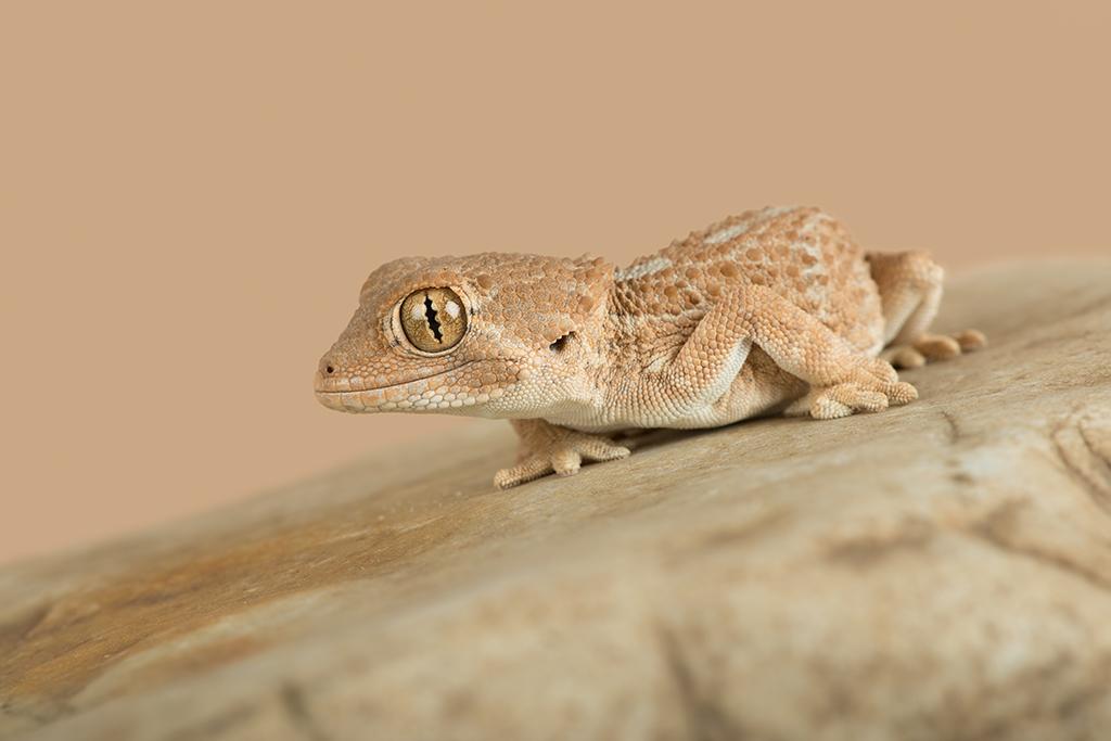 Helmeted Gecko (Tarentola chazaliae)   Dave Hunt Photography   Flickr