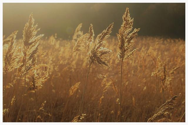 Wind blows...Reeds bend.
