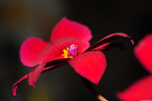 Orchid Burrageara (Nelly Isler)