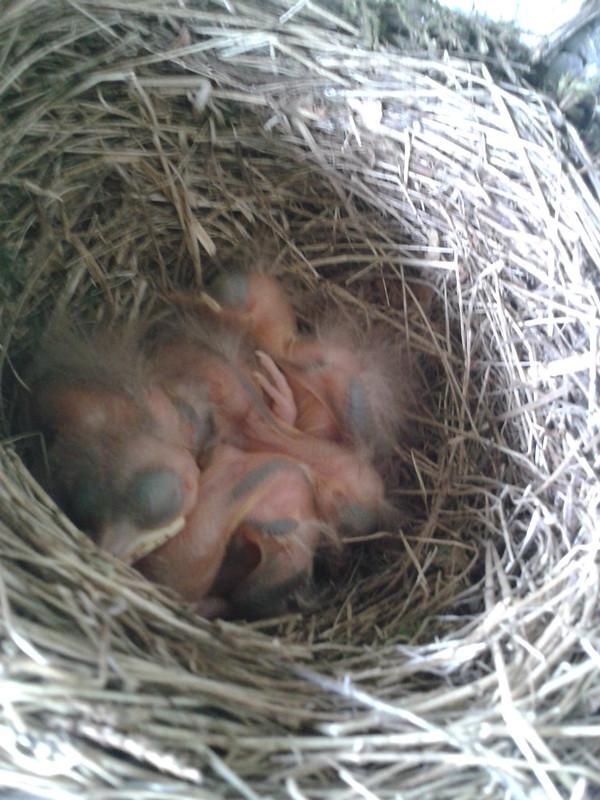 Song thrush chicks