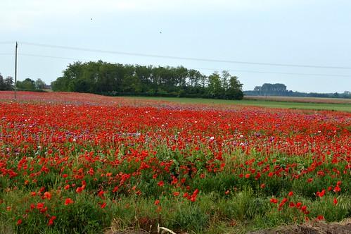 red flower nature fleur beautiful field nice hungary purple meadow blumen lila lilac poppy 24 jolie természet ungarn tavasz virág kirándulás pipacs 2014 piros hongrie virágok május mező szép rét macaristan virágos pipacsos kisszállás