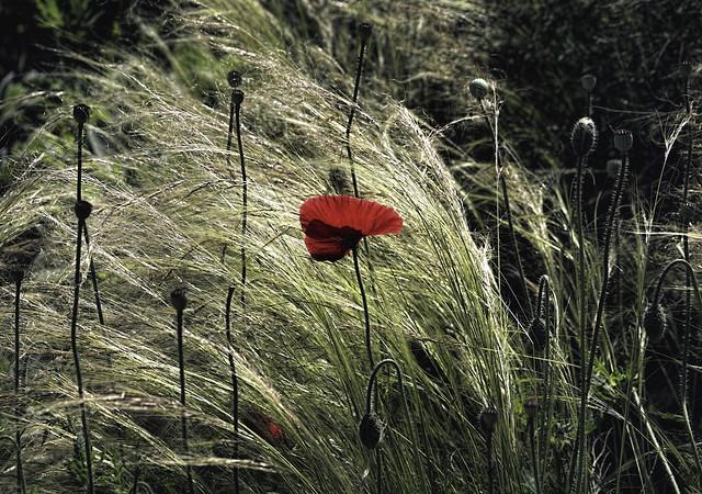 Red Poppy in Tall Grass