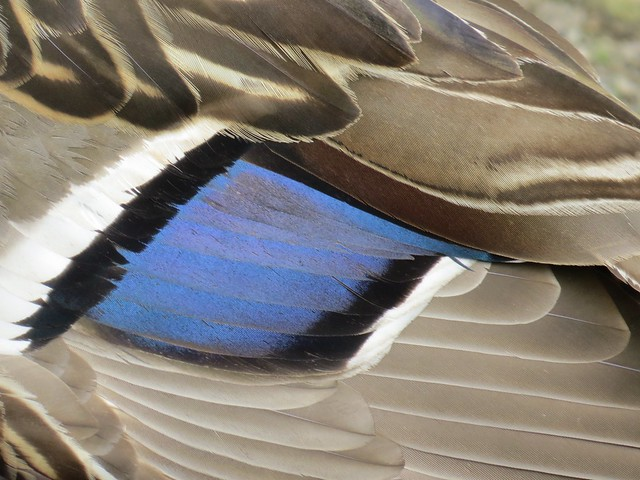 Duck Feathers Up Close