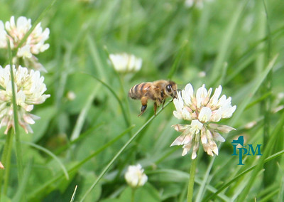 yellow and black bee with yellow pollen on back leg hovering over a white clover in a lawn