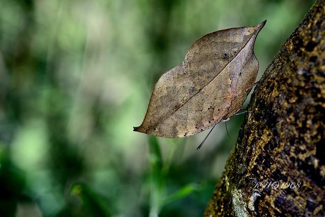 _AUG7104枯葉蝶(枯葉蝶)Kallima inachis formosana