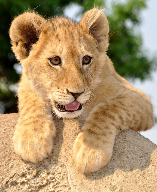 Young male lion - South Africa