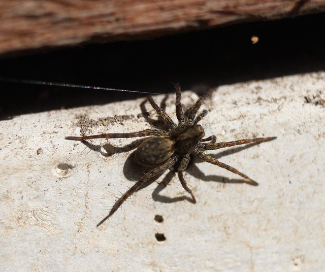 Wolf Spider returning to its lair