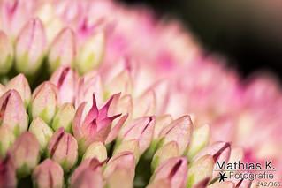 Blütenmeer | Projekt 365 | Tag 242