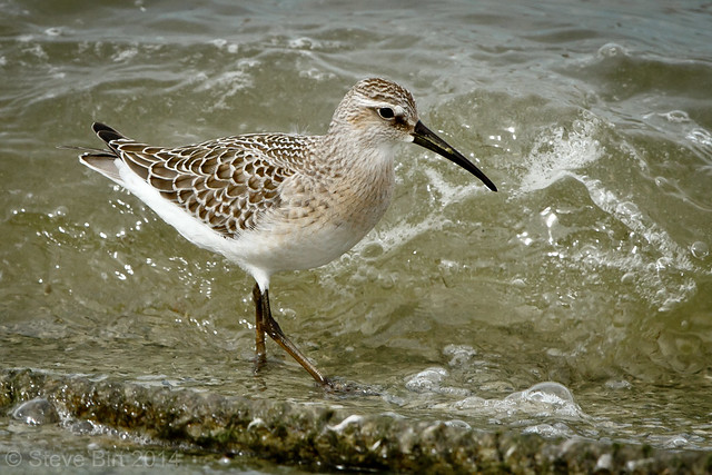 Curlew Sand 010