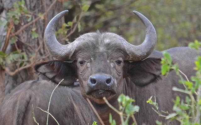 A Curious Cape Buffalo