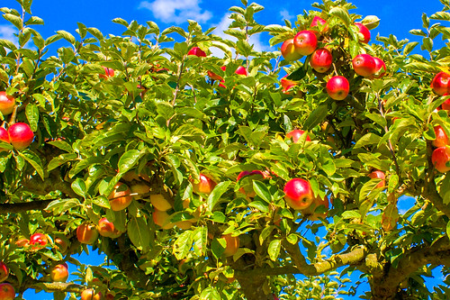 Red apples! | by michaeljohnbutton