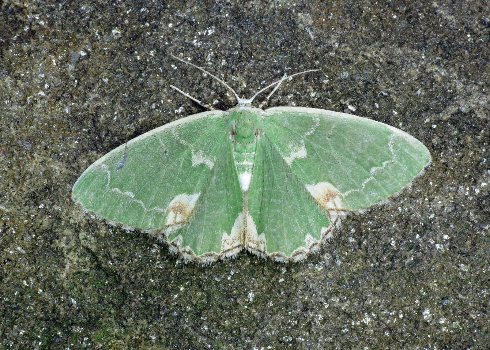 1667 Blotched Emerald - Comibaena bajularia