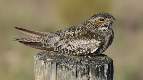 Common Nighthawk | by Wildreturn