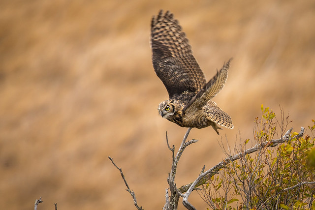 Great Horned Owl, Juvenile