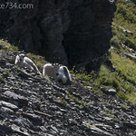 Mountain Goats with collars