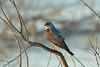 Ovampo Sparrowhawk, Sakania, DRC by Terathopius