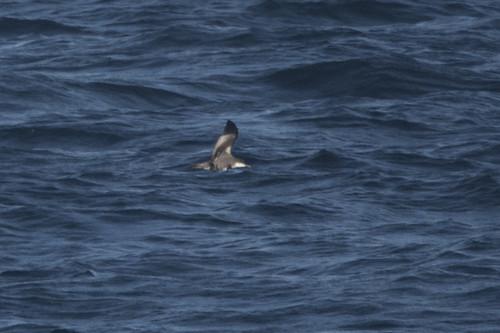 Catalina Island: Buller's Shearwater!   by donna lynn