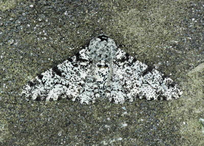 1931 Peppered Moth - Biston betularia