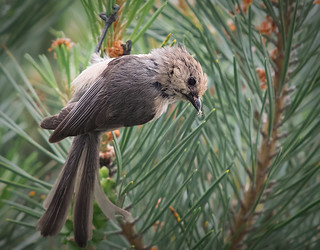 Bushtit Having Dinner | by Ingrid Taylar
