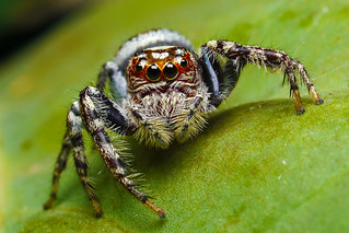 Garden Jumping Spider