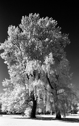 IR Portrait, Tree | by kmether