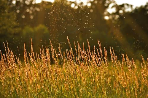nikon grasses goldenhour nikond3200 flickrfriday 55300mm amillionbugs