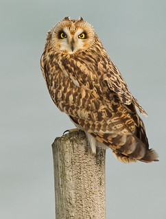 Short-eared owl | by paulcools1984