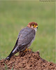 Red-necked Falcon by SrikanthRajan