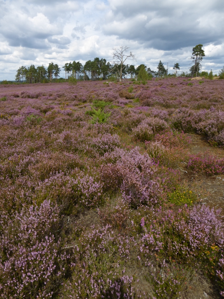Thorsley Common in August Milford to Haslemere walk