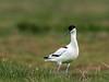 Klyde (Recurvirostra avosetta) - Pied Avocet - Säbelschnäbler - Avoceta Común by Søren Vinding